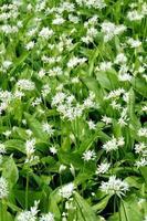 Allium Ursinum foto