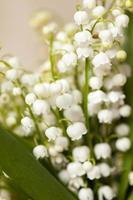 Blumen Maiglöckchen foto