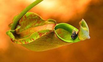 nepenthes ist eine fleischfressende Pflanze, die häufig Insekten fängt. foto