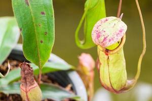 Nepenthes im Garten foto
