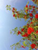 Herbst Eberesche Beeren Erdbeere. Sorbus aucuparia