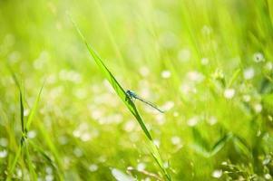 kleine blaue Libelle auf dem grünen Gras im Feld