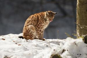 Luchs auf dem Schneehintergrund beim Betrachten Sie foto