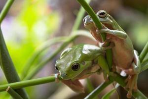australische grüne Laubfrösche foto