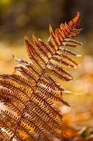 Herbst gelber Farn foto
