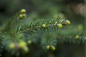 Fichtenkiefernzweig mit jungen grünen Zapfen; Nahansicht