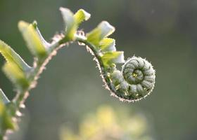 fiddlehead3