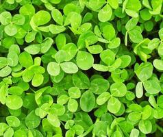 grüne Klee Textur