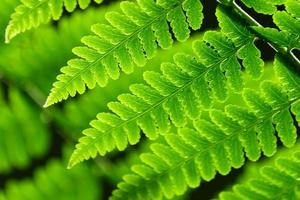 frische frühlingsgrüne Farnblätter