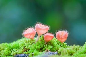 Pilz Cookeina Tricholoma in natürlichen foto