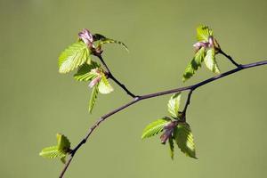 junge Buche verlässt im Frühjahr mit grünem Hintergrund foto