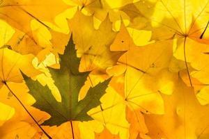 goldene Ahornblätter foto