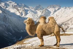 Kamel in den Bergen foto