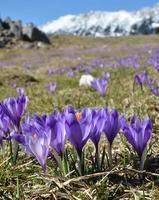 lila Krokusse und schneebedeckter Bergrücken foto