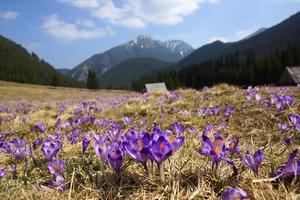 Krokusse im Chocholowska-Tal, Tatra-Gebirge, Polen foto