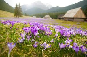 Frühlingswiese in Bergen voller Krokusblüten in voller Blüte foto