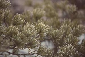 Kiefernnahaufnahme mit frostigem Foto