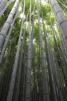 Bambushain foto