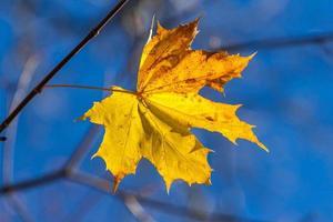 Herbst einzelnes gelbes Ahornblatt