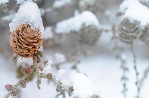 Lärchenkegel mit Schnee bedeckt