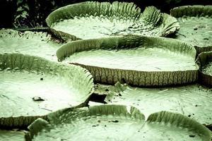 Seerosenblatt