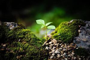 junge Pflanze leuchtet zwischen Moosen und Kies, Ökologiekonzept foto