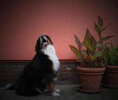 Berner Sennenhund neben Pflanzen foto
