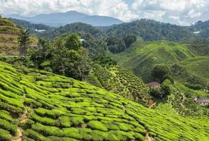 Teeplantage in den Bergen
