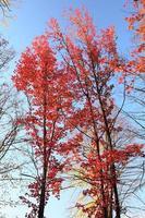 Ahornbaum mit roten Blättern.