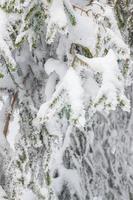Textur des mit Schnee bedeckten Tannenbaums foto