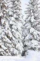 mit Schnee bedeckte Tannen auf einem Winterberg foto