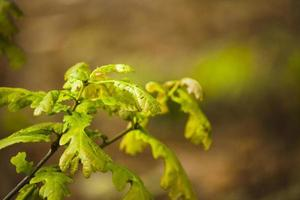 Neue Eichenblätter wachsen im Wald