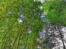 Bambus in der Natur foto