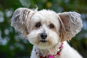 weißer Hund mit großen Ohren