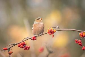 Vogel fressende Beeren im Herbst