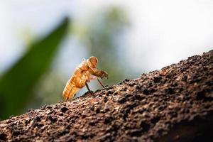 Zikadenhäutung auf Ast des Baumes
