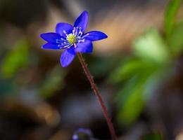 blaue sprigtime Leberblümchenblüte (hepatica nobilis) foto