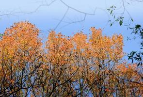 lebendige Ahornblätter des Herbstes