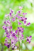 lila Orchidee foto