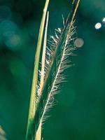 Nahaufnahme von Tautropfen auf einem haarigen Gras
