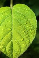 schöne große grüne Blätter
