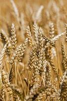 gereiftes Getreide