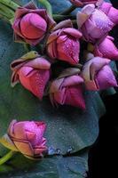 frische Lotusblume