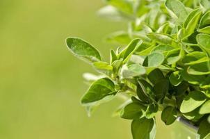 Oregano-Pflanze foto