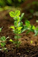 Erbsenpflanze foto