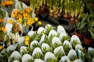 Krokuspflanzen foto