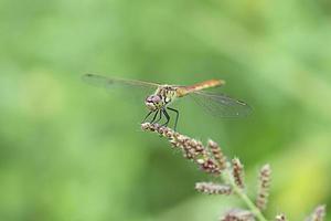 Libelle auf Pflanze. foto