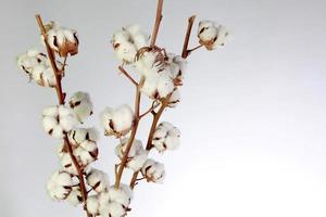Baumwollpflanzenblume foto