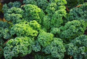 Grünkohlpflanze