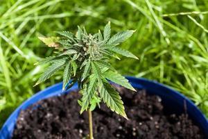Marihuana-Pflanze foto